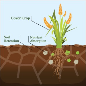 Cover crop illustration